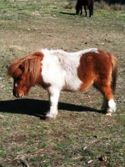 shetland-pony.jpg