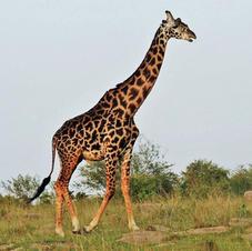 Giraffe    $3200