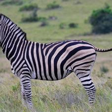 Zebra.    $1100
