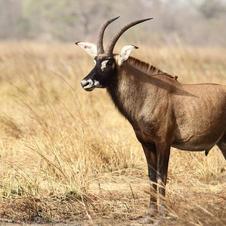roan-antelope.    $7200