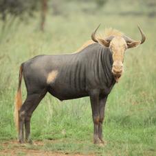 Kings Wildebeest.   $3000
