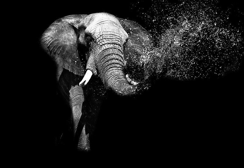 black-and-white-elephant-i81468.jpg