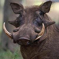 warthog     $600