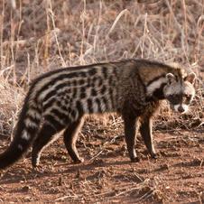 Civet-cat.  POR