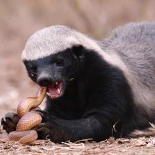 Honey Badger    POR