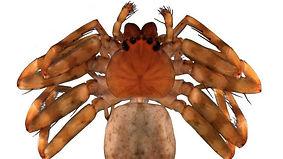 Selenopidae-flattie-spider-dec6-e1544120