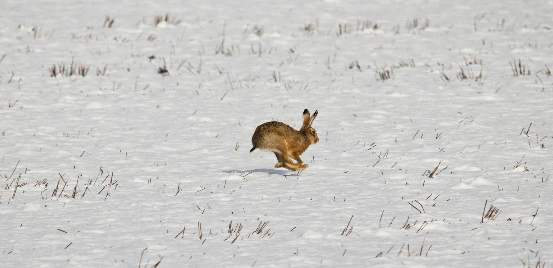 Hare_in_Snow.jpg
