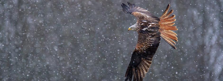 Snowy Kite In Flight