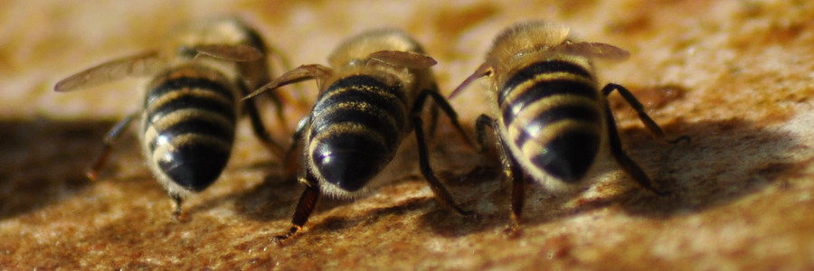 Bees drinking from the water bath.jpg