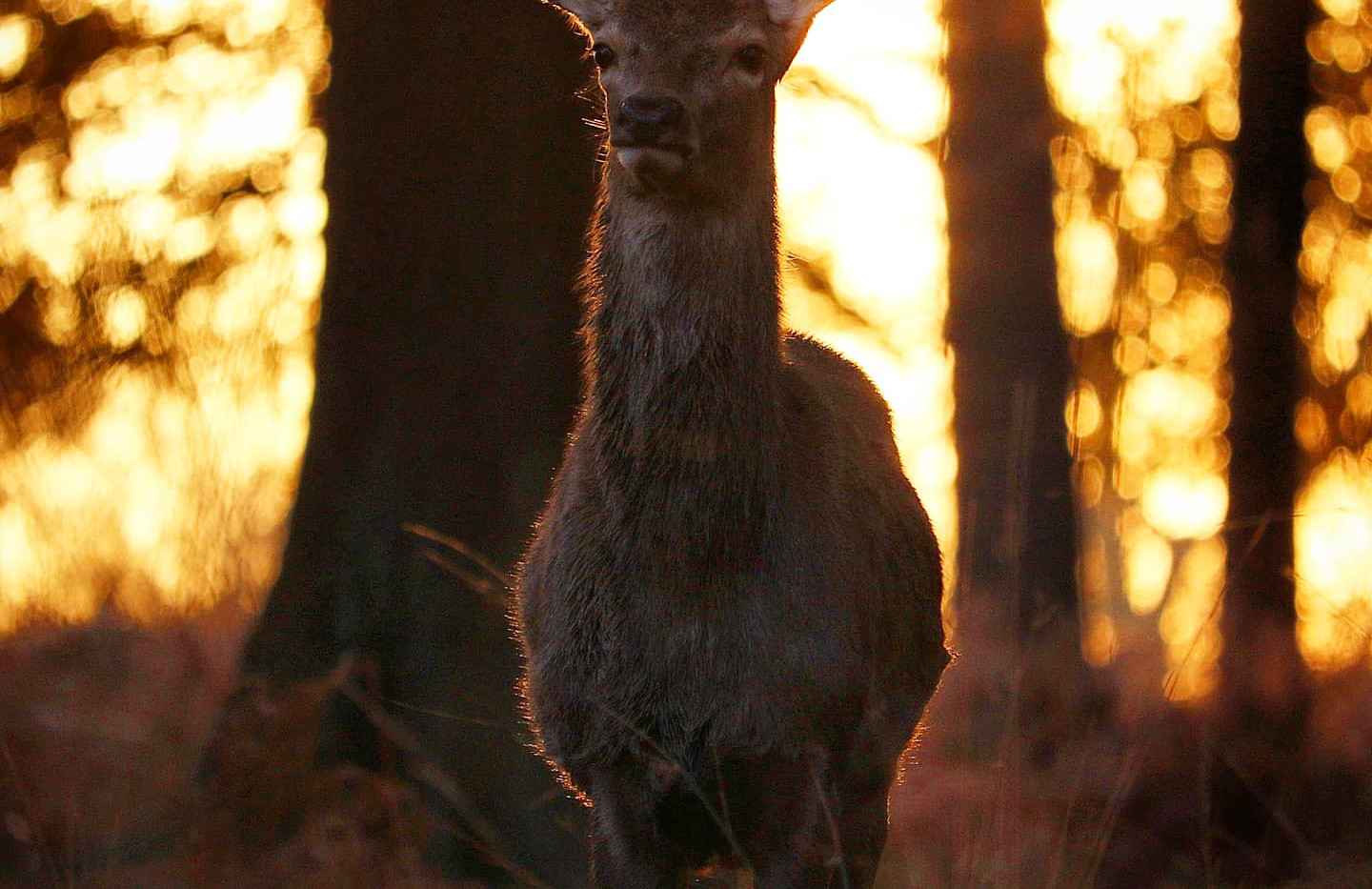 Red Deer Hind at Sunset