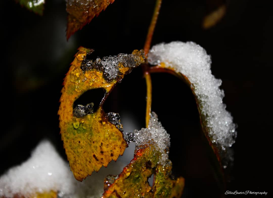 Leaves in the snow