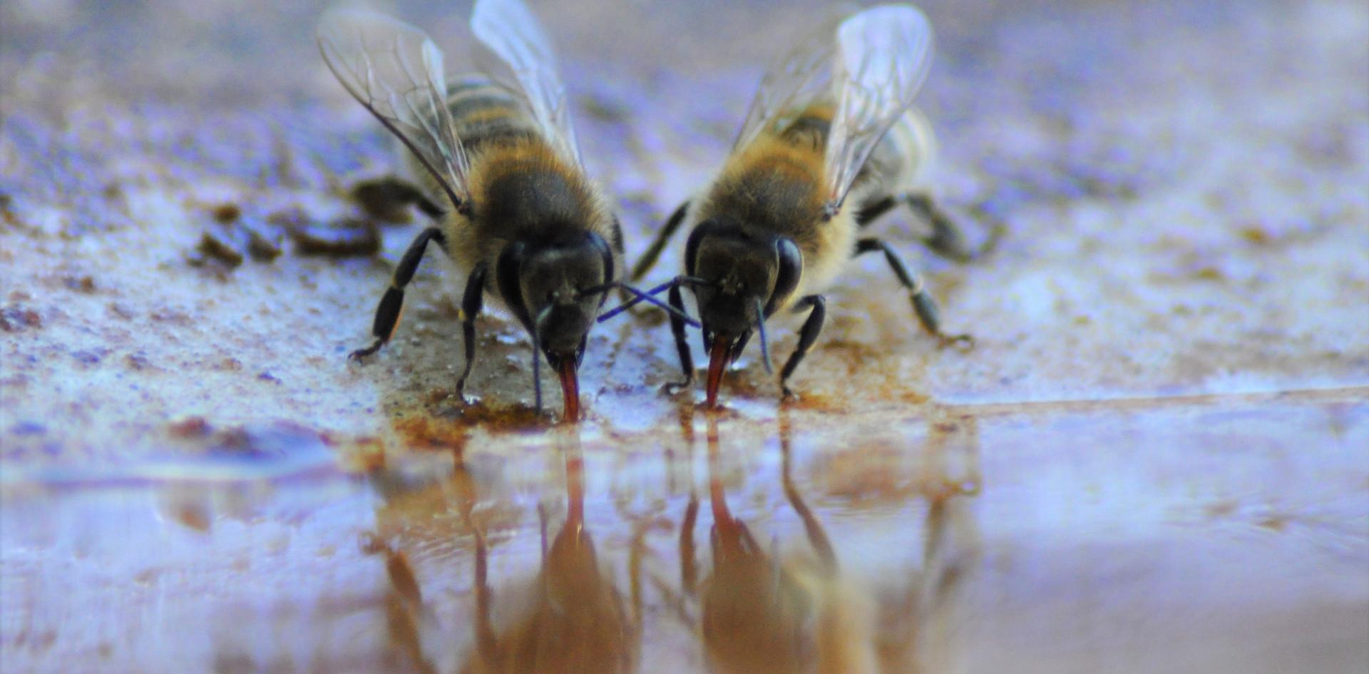Honeybees drinking