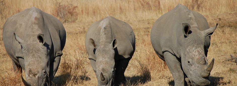 Rhinos in winter