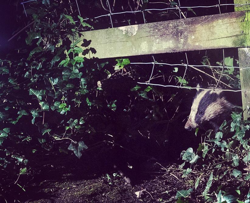 Badger visitor