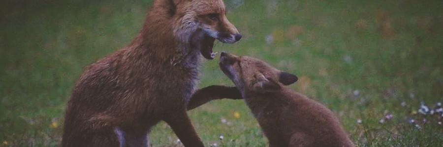 Fox & Cub