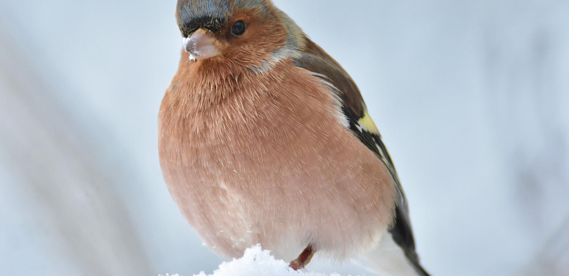 Snowy Chaffinch