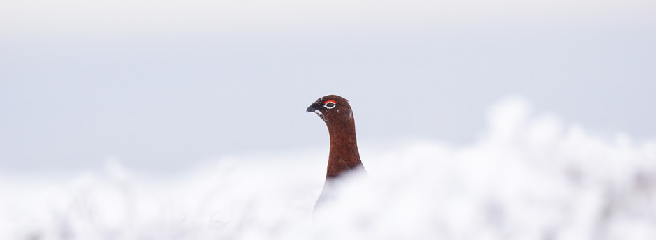 Grouse in the snow