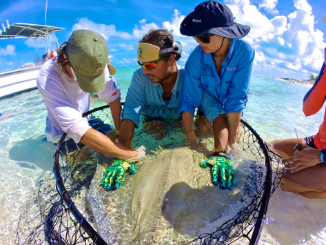 A research tech secures a southern stingray as two high school students help take measurements of the individual. Before it is released, the stingray will get two numbered tags. If it is recaptured in the future, the team can identify the individual by its tags and see how much it has grown based on the previous measurements.
