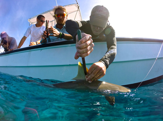 A small reef shark is worked up by the shark research and conservation team over the side of the boat. In 2011, The Bahamas became a shark sanctuary, making it illegal to land any sharks in Bahamian waters. By conducting surveys on local populations, the research team can help conservationists better understand how a designated shark sanctuary may impact shark populations. Here, a research tech places a tag in the dorsal fin of the shark so that if the shark is caught again, the team can identify it and see how much it has grown.