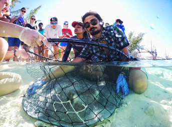 A research tech secures a large southern stingray in the net so the team can take measurements of the individual.