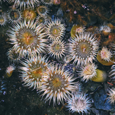 Anemones in a tidepool at Friday Harbor Labs