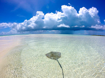 A southern stingray rests in the shallow, protected waters near a sandbar.