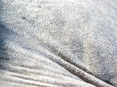 The skin of a Caribbean whiptail ray, Himantura schmardae. The tiny bumps are called dermal denticles, tiny teeth-like scales that help the whiptail ray collect sand on its back to stay hidden in mangrove creeks.