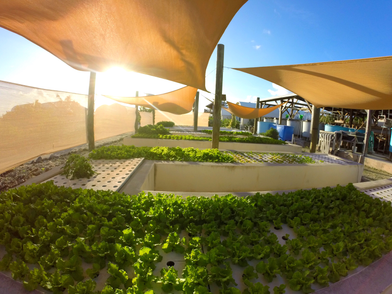 Not all of the action takes place in the ocean. This is an aquaponics system, combining the principles and of aquaculture and hydroponics to create a sustainable, closed-loop system. Tilapia are raised in tanks which will eventually be harvested for food, while their poop is collected and filtered into these grow beds, where the nutrients help plants like lettuce, basil, and tomatos thrive. On small islands like Eleuthera, food security is an important issue that this system can help address. The aquaponics team is constantly testing new ways to make the system as sustainable as possible.