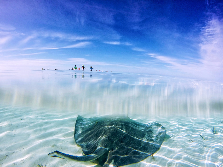 """After its release, a large southern stingray affectionately known as """"stumpy"""" hangs out in the shallows as students in the distance search for another stingray."""