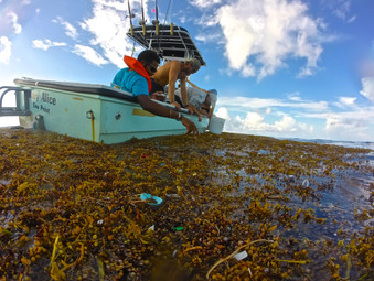After Hurricane Joaquin passed through The Bahamas, large mats of sargassum gathered on the surface of the Exuma Sound due to the high winds. These mats also collected large amounts of marine debris, particularly tiny pieces of plastic called microplastic. Microplastics make their way into the food chain when fish mistake them for plankton, and can travel up the food chain into humans. The marine debris research team went out after the storm to conduct plastic trawls to get a better understanding of how storms might affect the distribution and accumulation of plastic debris.