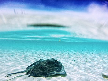 """After its release, a large southern stingray affectionately known as """"stumpy"""" hangs out in the shallows."""