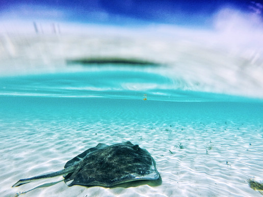 "After its release, a large southern stingray affectionately known as ""stumpy"" hangs out in the shallows."