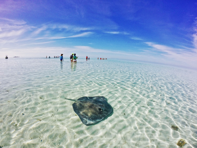 "After its release, a large southern stingray affectionately known as ""stumpy"" hangs out in the shallows as students in the distance search for another stingray."