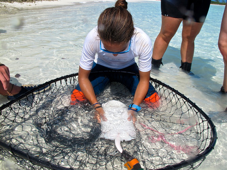 """A research tech secures a small southern stingray in the net so the team can take measurements of the individual. By holding it upside down the stingray enters a sleep-like state called """"tonic immobility"""", allowing the team to take measurements while the ray remains calm and unharmed."""