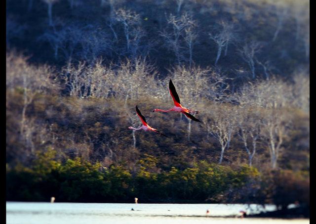 Flamigos in Flight