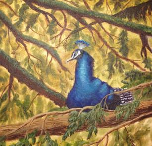 Peacock Roosting