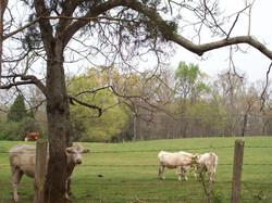 Greenway Cows.jpg