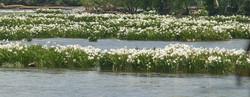 Lillies at Lansford Canal.jpg