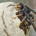 Frelon asiatique : destructions des nids