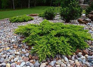 juniperus_green-carpet-2.jpg
