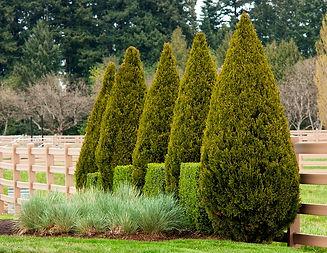 Juniperus-Spartan.jpg
