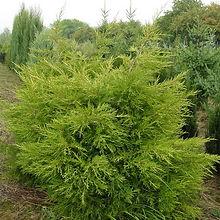 juniperus_kuriwaogold.jpg