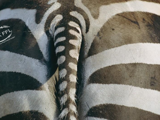 Zebras and (scape)Goats