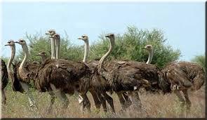 Meu amigo avestruz