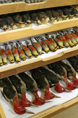 Coleção_Ornitológica3.JPG
