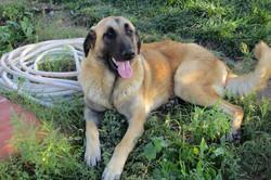 Cão da Serra da Estrela pêlo curto