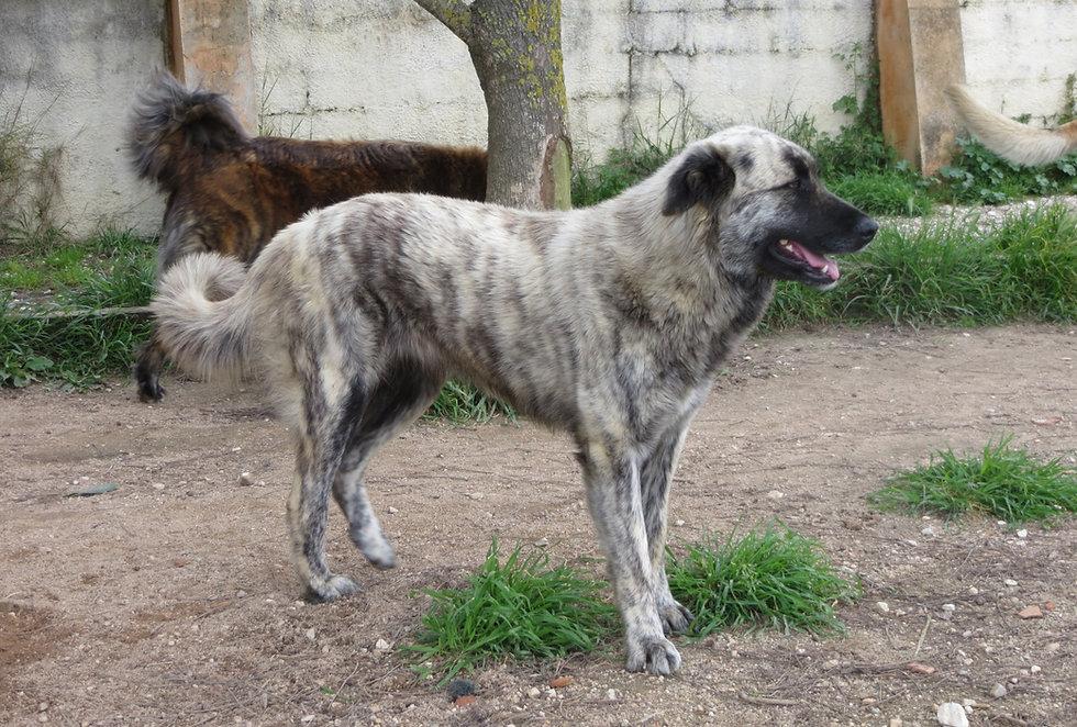 Cão da Serra da Estrela, Ponta da Piinta, Faifa
