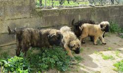 Ponta da Pinta puppies