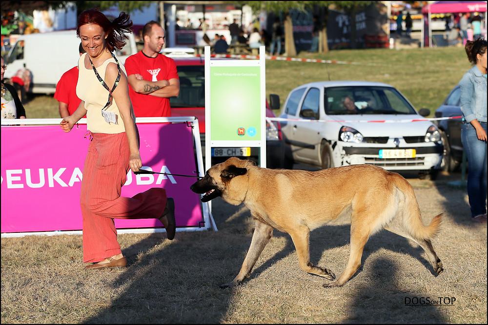 Canela da Ponta da Pinta, Cão da Serra da Estrela de pêlo curto