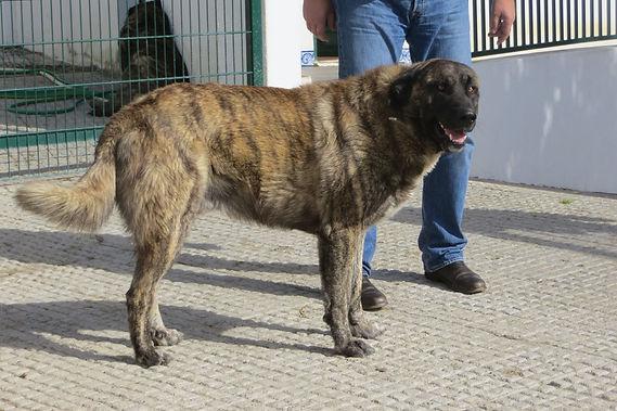 Cão da Serra da Estrela de pêlo curto